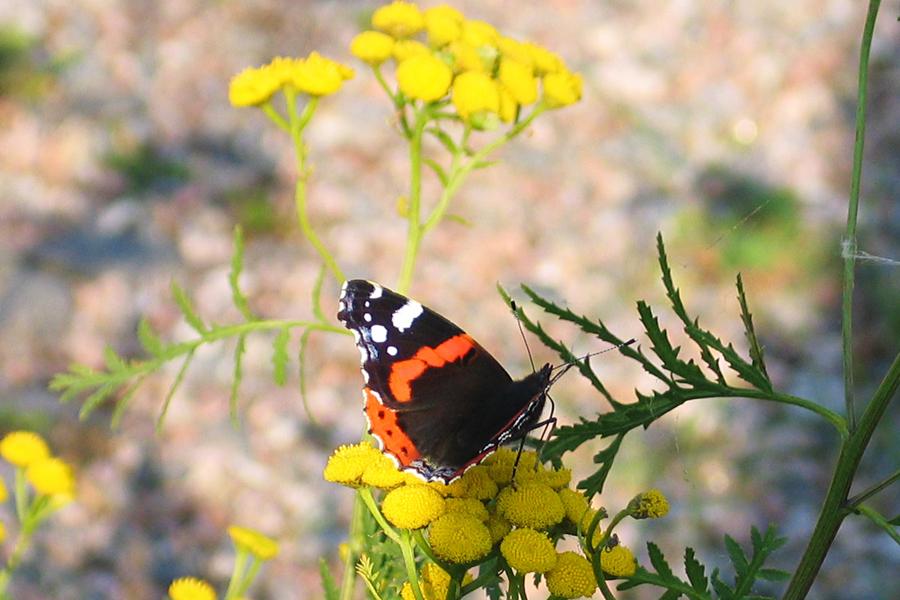 Linkki tapahtumaan Luontoretki: Harakan saaren perhoset ja hyönteiset