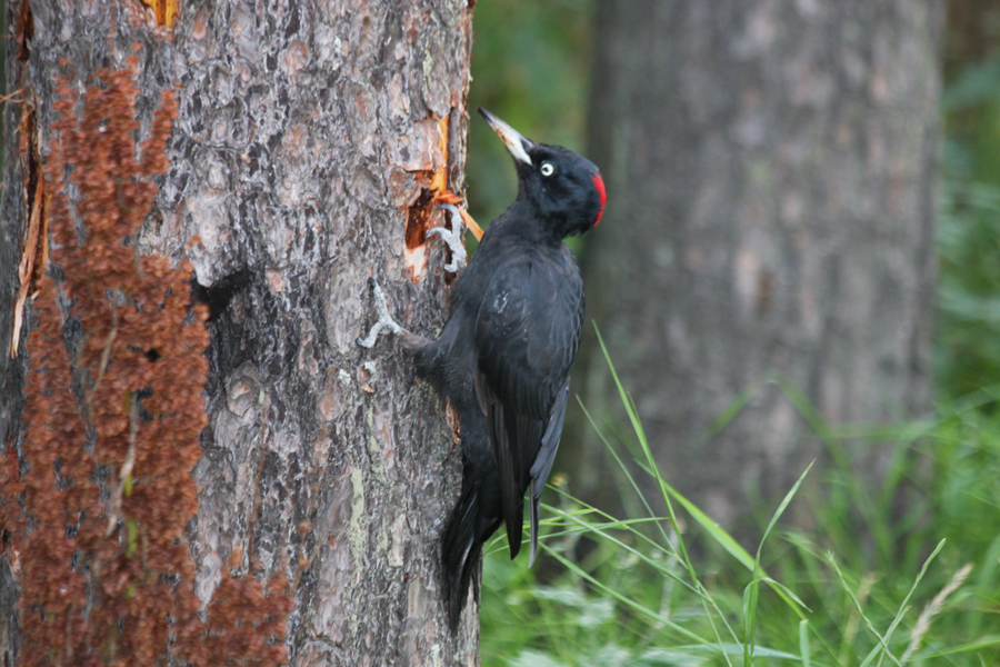 Linkki tapahtumaan Luontoretki: Kivinokan vanhaa metsää ja Saunalahden lintuja