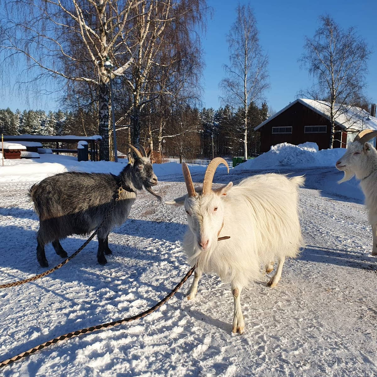 Link to event Talviloman eläinharrastustoiminta Fallkullan kotieläintilalla