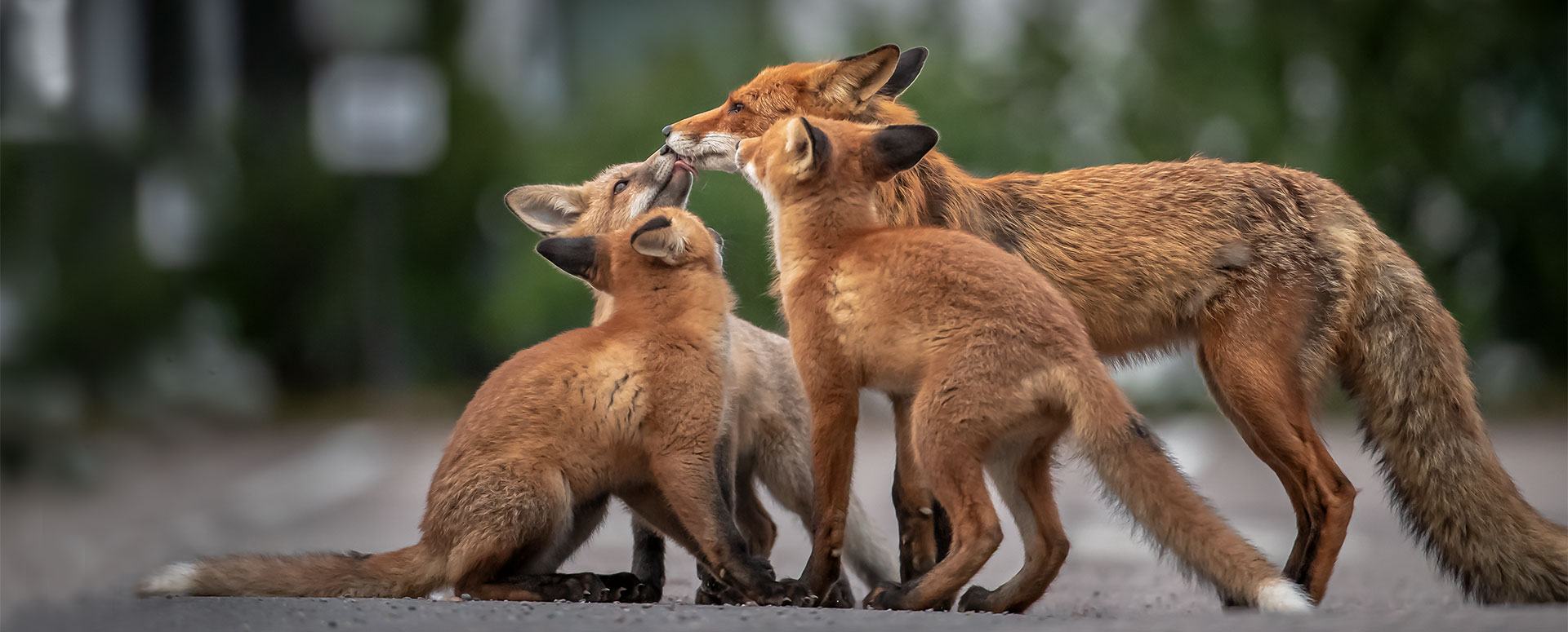 Link to event Hannu Laakso: The Fox Family